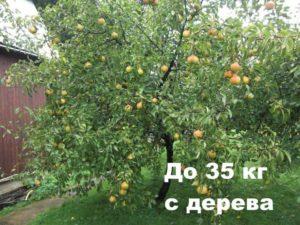 Дерево грушевое приносит 35 кг