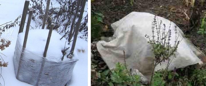 Кустарники лоха утепляются на зиму