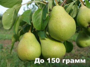 Плод груши Яковлева весит 150 г