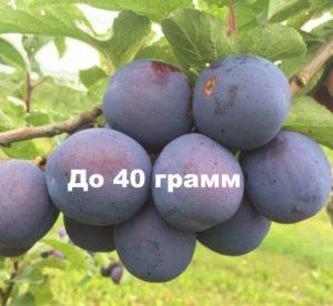 Плоды Кромань весят до 40 грамм