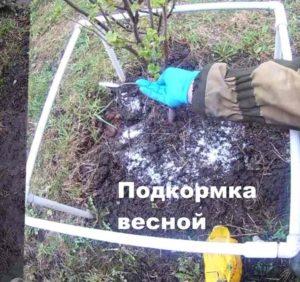 Процесс подкормки дерева