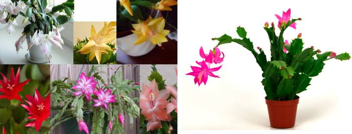 Разноцветные цветы декабриста