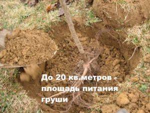 Рекомендация для высадки груши