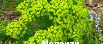 Куст молочая кипарисового