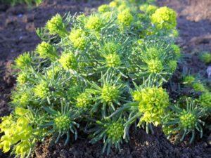 Растение молочай кипарисовый