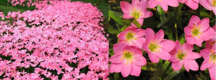 Вид зефирантеса - розе