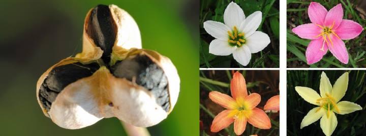 Коробочка семян зефирантеса