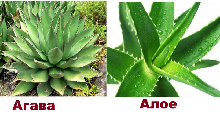 Внешний вид алое и агавы