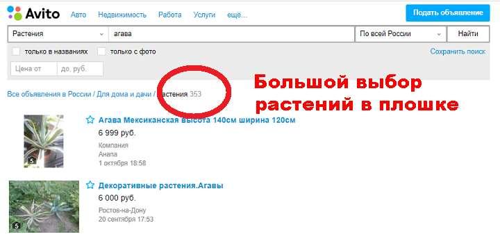 Объявления об агавах по РФ