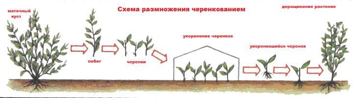 Размножение олеандра черенкованием