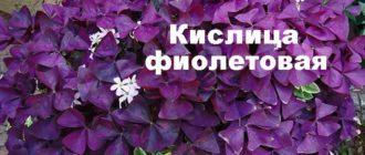 Растение кислица фиолетовая