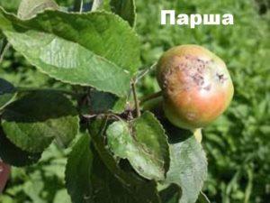 Поражение яблони паршой