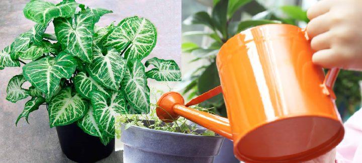 Оранжевая лейка и сингониум