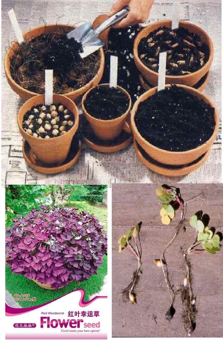 Семена в пакетике кислицы фиолетовой