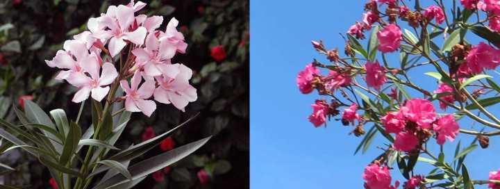 Олеандровые цветы