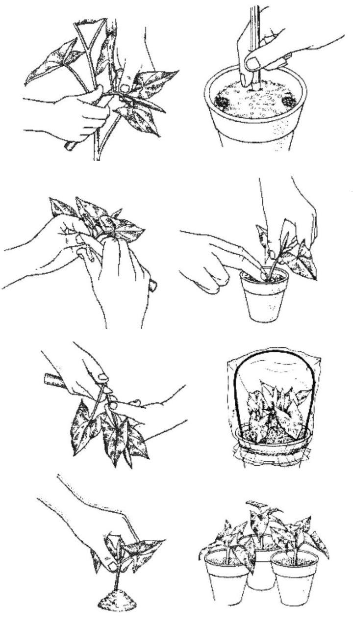 Размножение стеблями