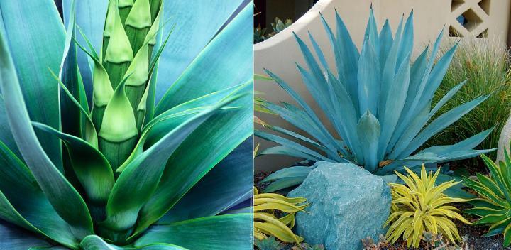 Красота голубой агавы