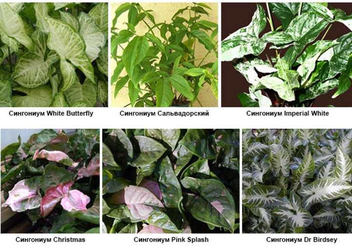 6 видов растения сингониум