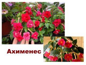 Растение Ахименес