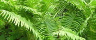 Растение папоротник орляк