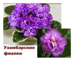 Растение фиалка