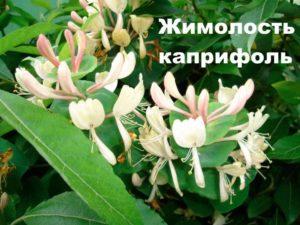 Цветки жимолости