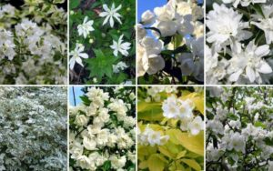 Сорта садового жасмина