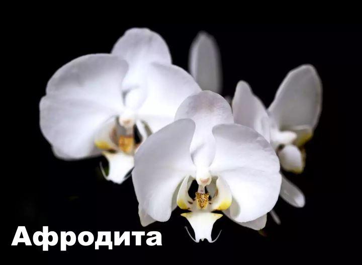 Сорт орхидеи Афродита