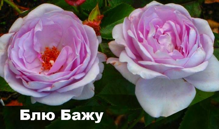Сорт розы: Флорибунда Блю Бажу