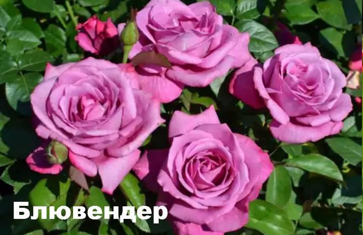 Сорт розы: Флорибунда Блювендер