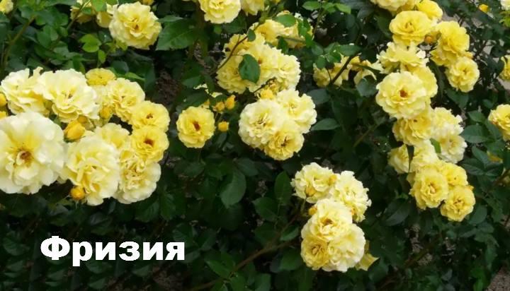 Сорт розы: Флорибунда Фризия