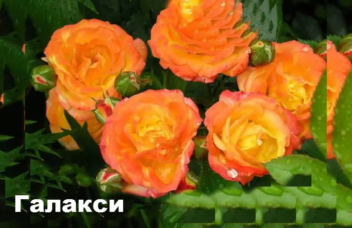 Сорт розы: Флорибунда Галакси