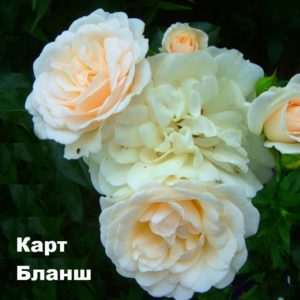 Сорт розы: Флорибунда Карт Бланш