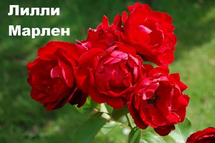 Сорт розы: Флорибунда Лилли Марлен