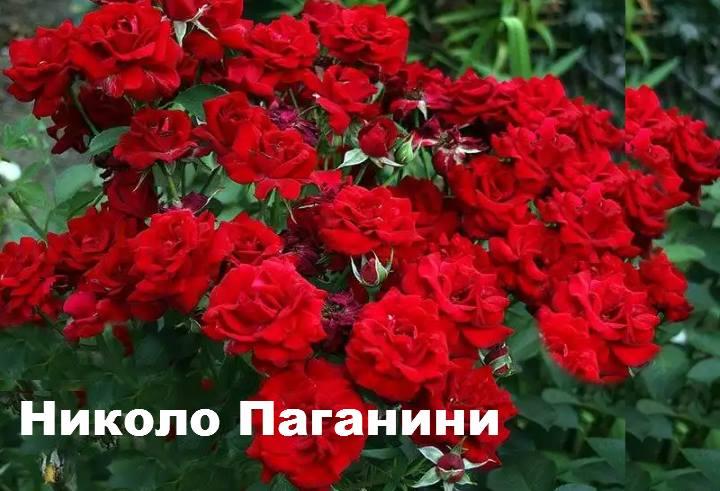Сорт розы: Флорибунда Николо Паганини