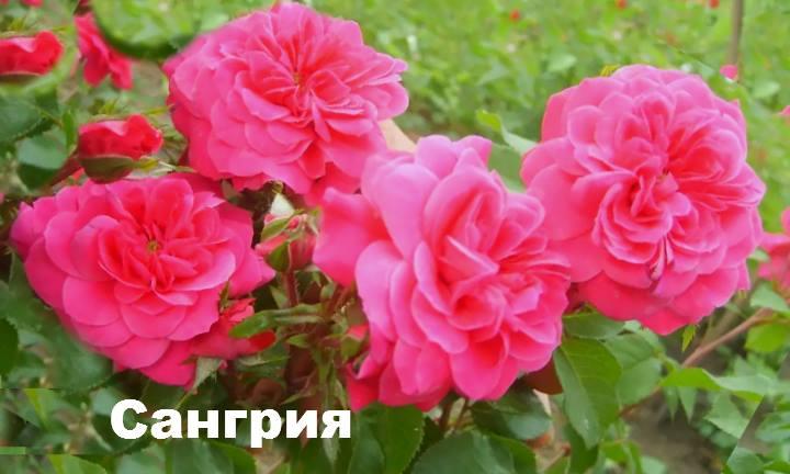 Сорт розы: Флорибунда Сангрия
