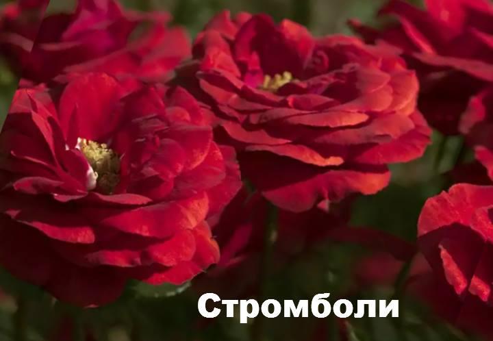 Сорт розы: Флорибунда Стромболи
