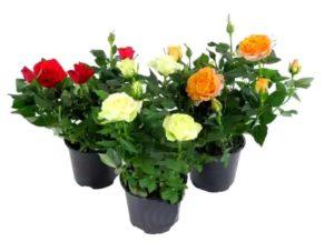 Горшечные розы флорибунда
