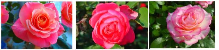 Цветение розы флорибунда