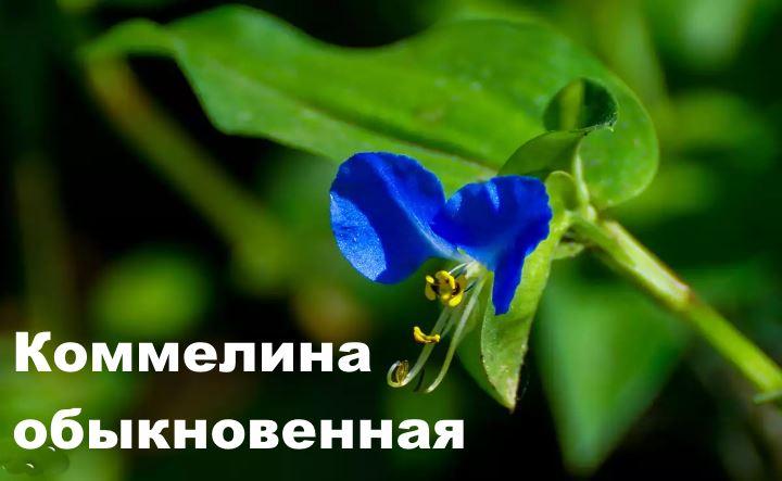 Донор синего красителя