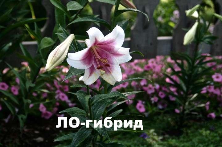Лилия ЛО-гибриды