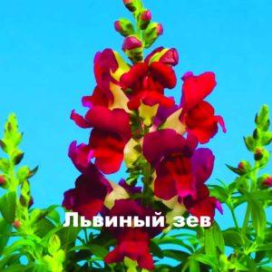 Растение львиный зев