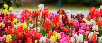 Расцветки львиного зева