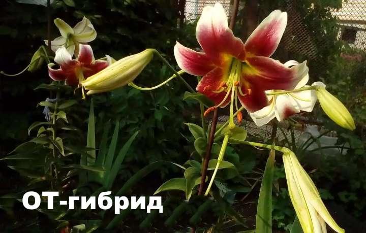 Лилия ОТ-гибриды
