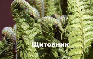 Вид папоротника: Щитовник