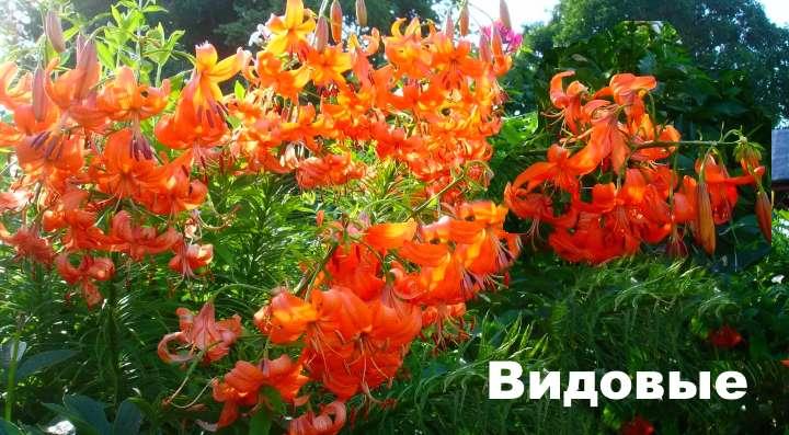 Красно-оранжевая лилия