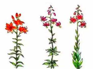 Виды листвы лилий
