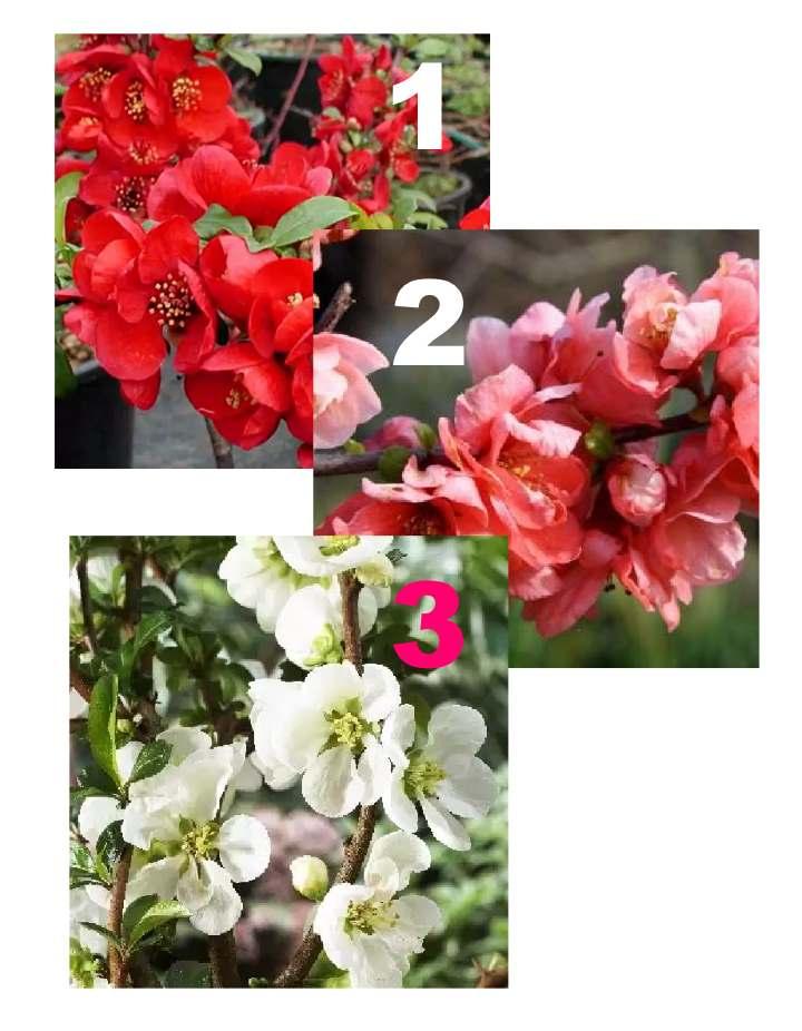 Три сорта айвы в цветении