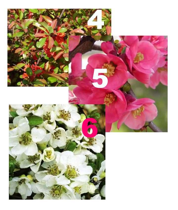 3 сорта айвы в цветении