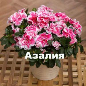 Сорт растения азалия